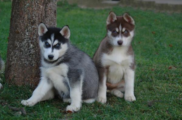 Husky Une photo de magic wolf Cliquez pour agrandir