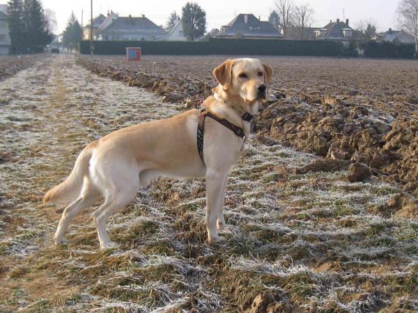 Labrador Retriever Une photo de Caid Cliquez pour agrandir