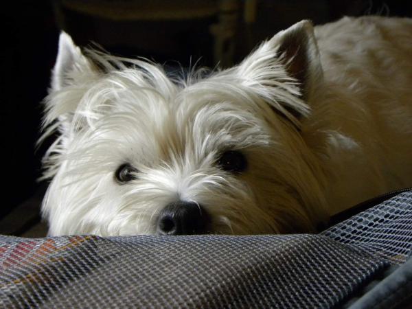 West Highland white terrier Une photo de Tutielou Cliquez pour agrandir
