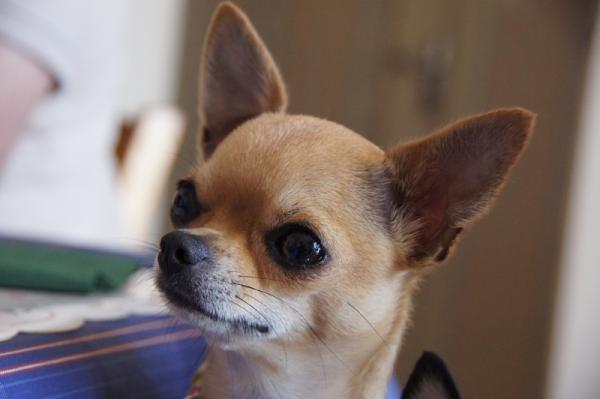 Chihuahua Une photo de goelette Cliquez pour agrandir