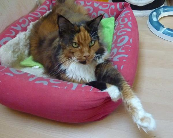 GRACE KELLY  Maine Coon orkayankee