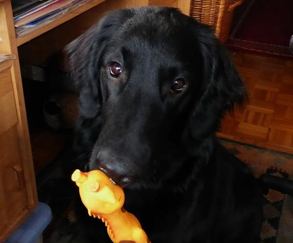 Swyna   Flatcoated Retriever MONALISA