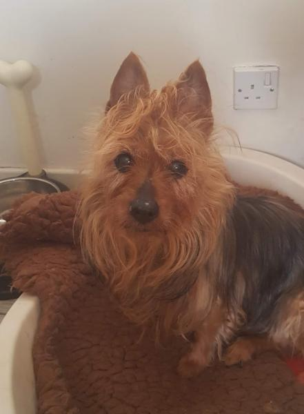 Chancer - 16 ans Australian terrier mf01